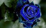BlueRoseWP